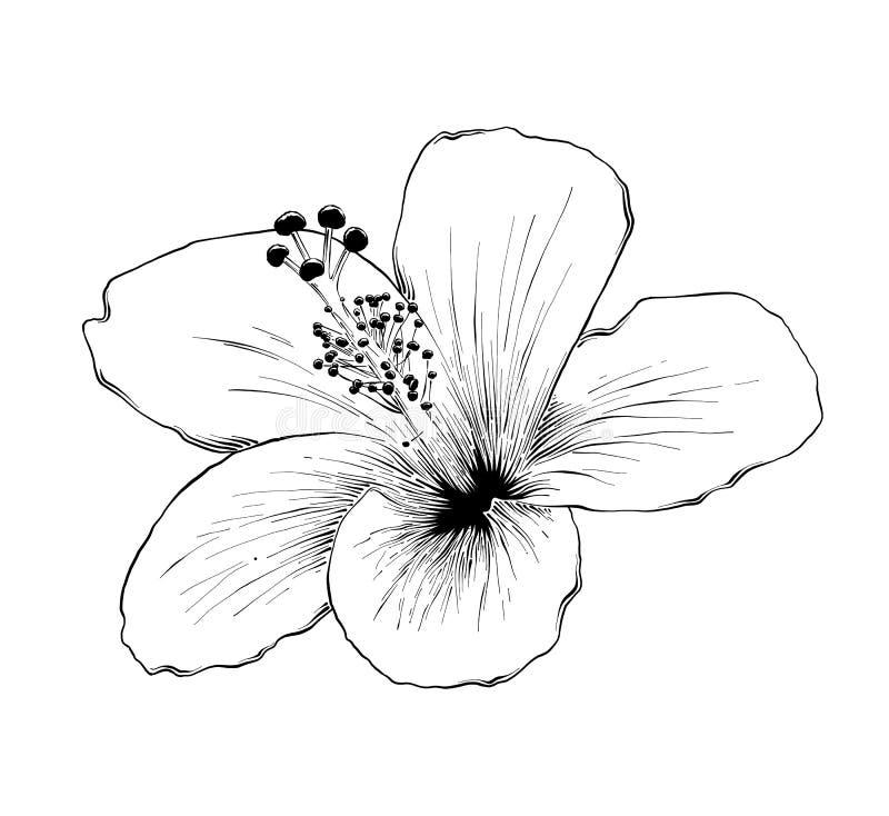 Bloeit de hand die getrokken schets van Hawaiiaanse hibiscus in zwarte op witte achtergrond wordt geïsoleerd De gedetailleerde ui stock illustratie