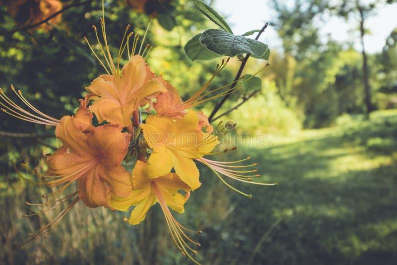 Bloeit de oranje bloei van de vlamazalea in de recente lente bij schemer in het uitstekende plaatsen stock fotografie