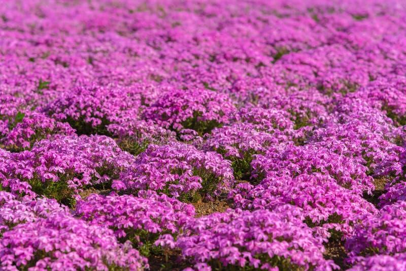 Bloeit het close-up kleine gevoelige roze witte mos Shibazakura, Floxsubulata hoogtepunt ter plaatse bloeiend in zonnige de lente stock foto