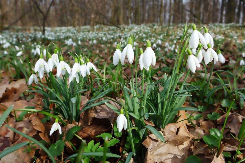 Bloeit het de lente wilde sneeuwklokje Galanthus-nivalis bloeiend in het bos dichtbij Dobrin, Tsjechische Republiek stock afbeelding