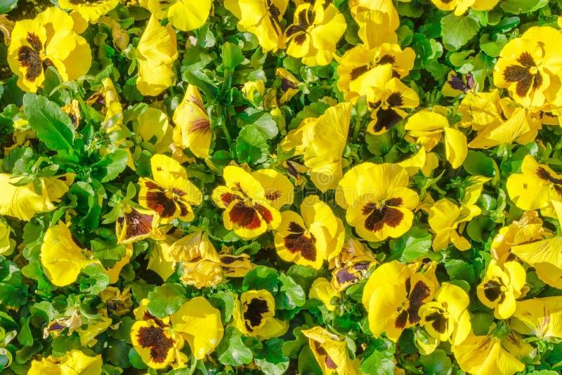 Bloeit pansies heldere gele kleuren met een donkere medio-close-up Gele altviool bij de lente in de tuin royalty-vrije stock afbeelding