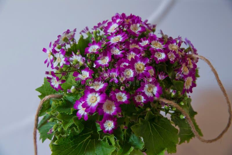 Bloeit: Purpere en witte Cineraria Magenta astersbloembed Ondiepe Diepte van Gebied purpere aanhangers bonteque stock fotografie