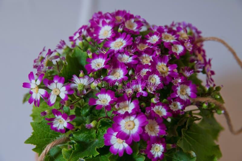 Bloeit: Purpere en witte Cineraria Magenta astersbloembed Ondiepe Diepte van Gebied purpere aanhangers bonteque stock foto