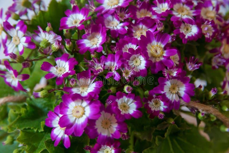 Bloeit: Purpere en witte Cineraria Magenta astersbloembed Ondiepe Diepte van Gebied purpere aanhangers bonteque royalty-vrije stock fotografie