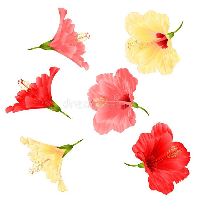 Bloeit tropische rode roze van de installatiehibiscus en geel op een witte uitstekende vector editable illustratie als achtergron vector illustratie
