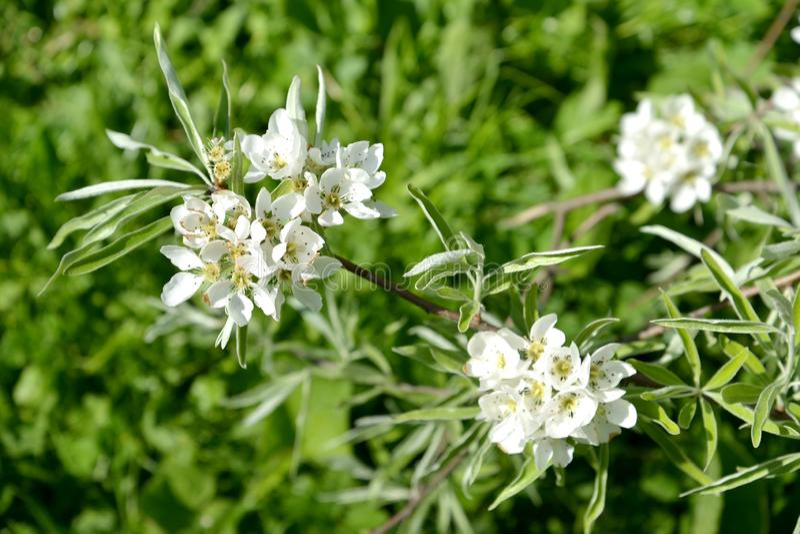 Bloeiwijze van van wilg-blad salicifolia F perenpyrus pendula De lente stock afbeelding