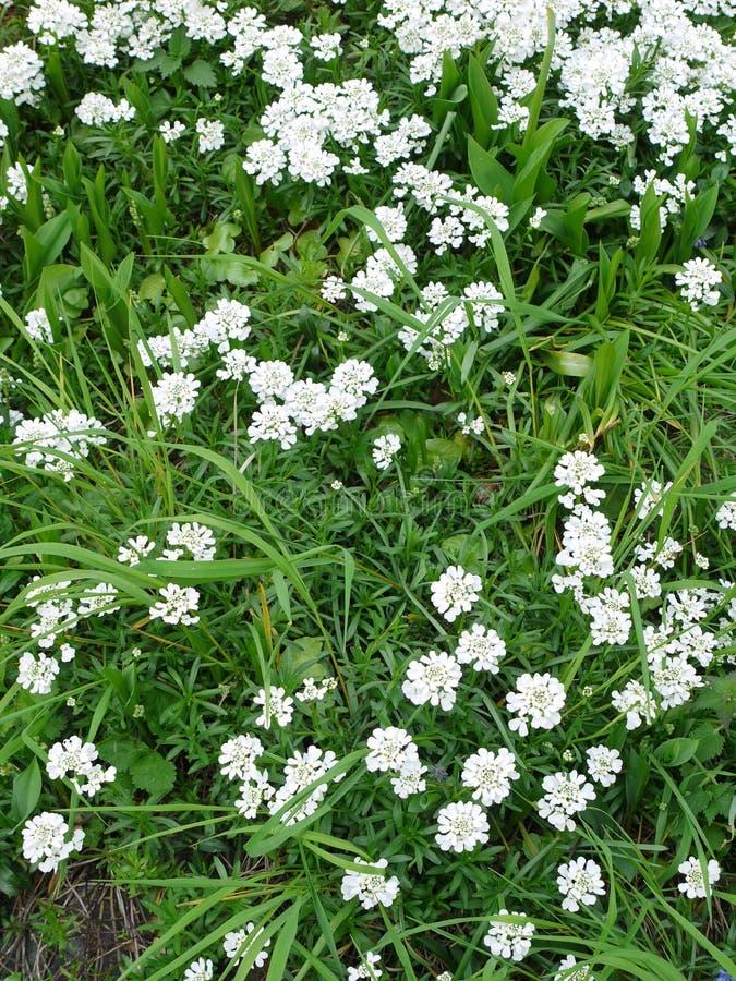 Bloeiwijzen van kleine witte bloemen tussen het groene gras De lentecollage stock foto