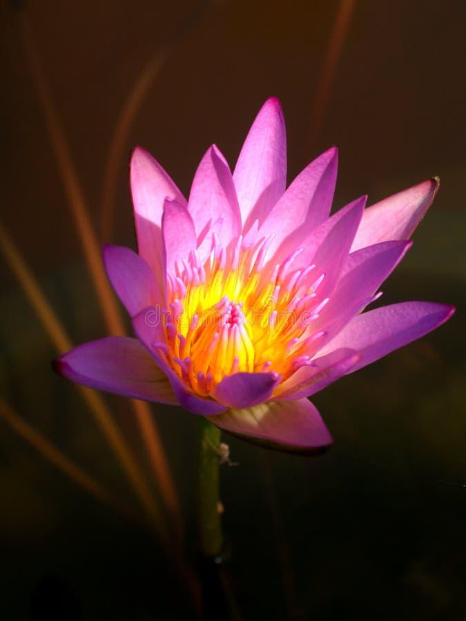 Bloem 02 van Lotus stock afbeeldingen