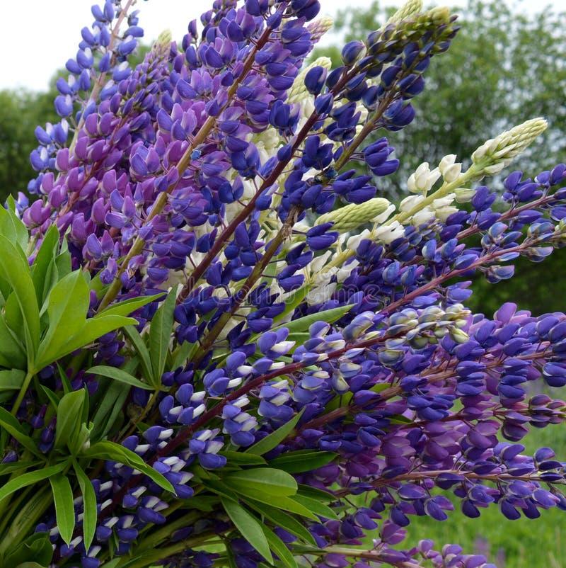 Bloem, aard, purple, installaties, bloemen, de blauwe lente, groen, tuin, lavendel, Lupine, gebied, het bloeien, bloeien, bloemen royalty-vrije stock foto's
