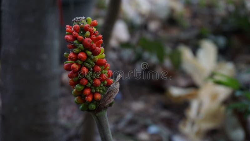 Bloem Amorfophallus paeoniifolius Dennst Nicolson Planten met geneeskrachtige eigenschappen royalty-vrije stock afbeelding