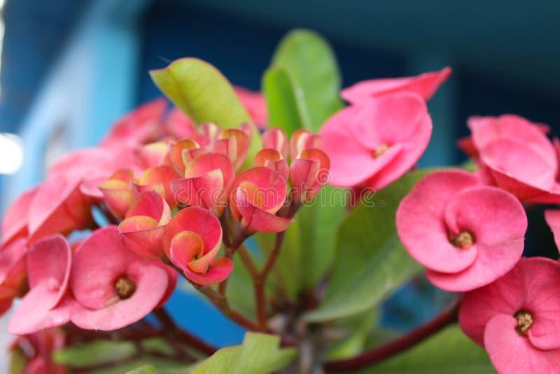 Bloem Baja Californië Sur royalty-vrije stock foto's