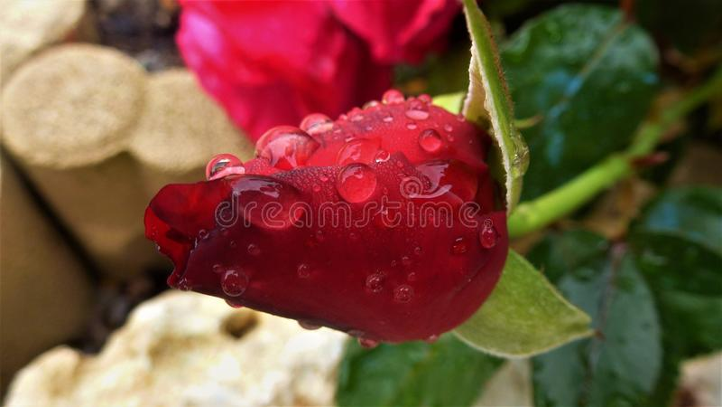 Bloem, Bes, Frutti Di Bosco, Bloemblaadje royalty-vrije stock afbeeldingen