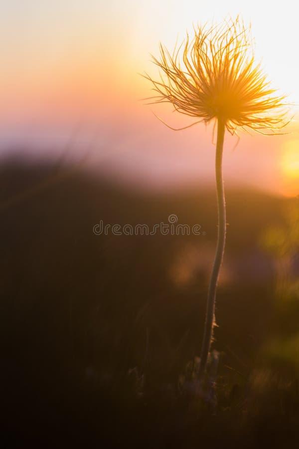 Bloem bij zonsondergang stock foto's