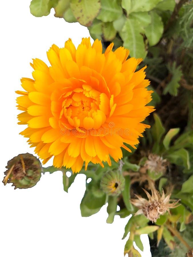 Bloem: Calendulaofficinalis, ruddles van de pottengoudsbloem, Schotse goudsbloem is een kortstondig aromatisch kruid dat kleur aa stock foto