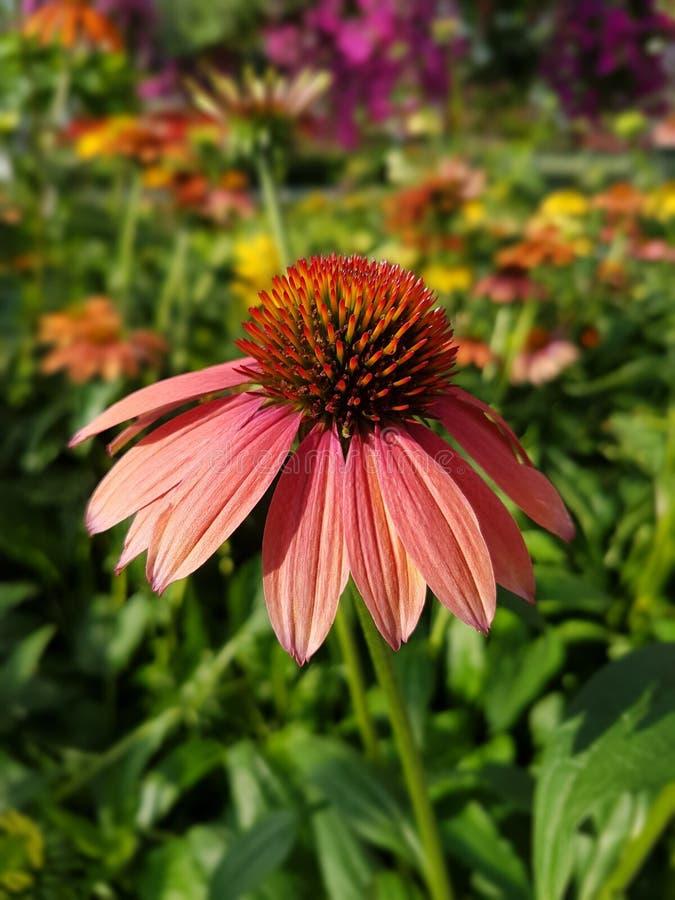 Bloem, Coneflower, Installatie, Flora stock fotografie