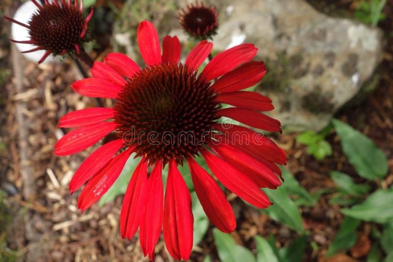 Bloem, Coneflower, Installatie, Flora stock afbeeldingen