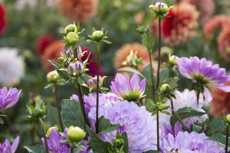 Bloem Dahlia Graceland royalty-vrije stock foto's