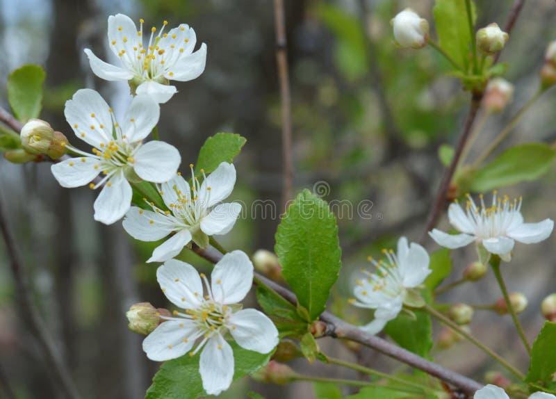 Bloem, de lente, bloesem, boom, aard, wit, appel, bloemen, bloei, tak, kers, tuin, het bloeien, installatie, groen, macro, schoon royalty-vrije stock foto's