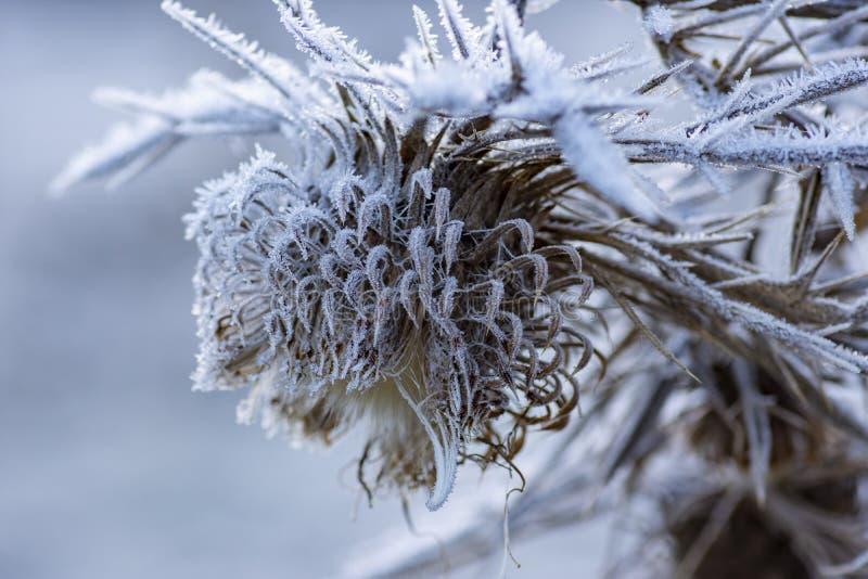 Bloem in de winter met bevroren ijskristallen royalty-vrije stock afbeelding