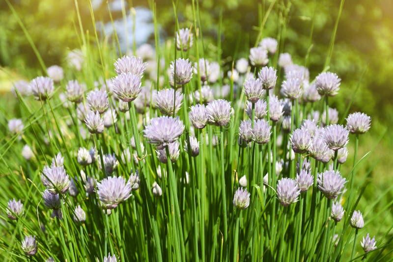 Bloem decoratieve ui Close-up van violette uienbloemen op de zomergebied Mooie tot bloei komende uien Knoflookbloemen stock foto