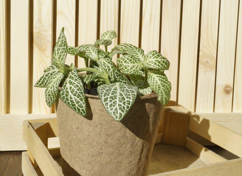 Bloem in een pot Fittonia in een bloempot van een kraftpapier-kleur in een houten doos Houten achtergrond Het planten van install royalty-vrije stock foto's