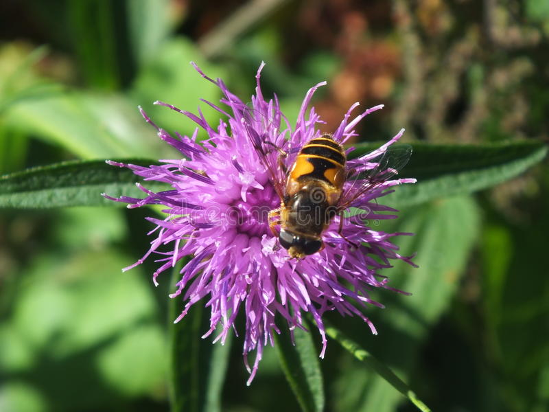 Bloem en Bee1 stock afbeelding