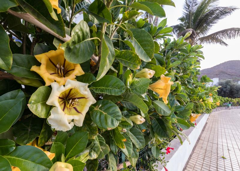 Bloem en bladeren van Solandra-maxima, kop van gouden wijnstok, gouden miskelkwijnstok Haag het uitrekken zich langs een straat i stock afbeeldingen