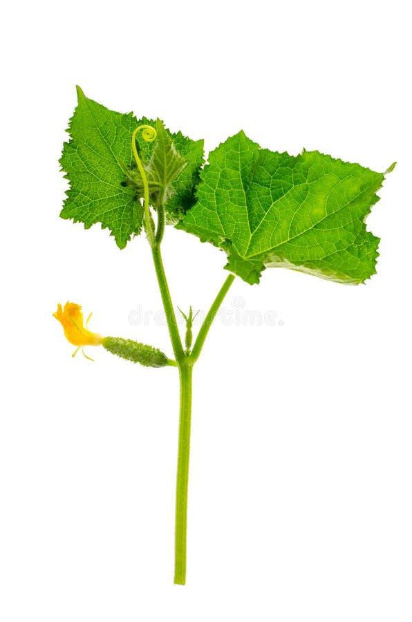 Bloem en eierstok van jonge komkommer op witte achtergrond stock fotografie