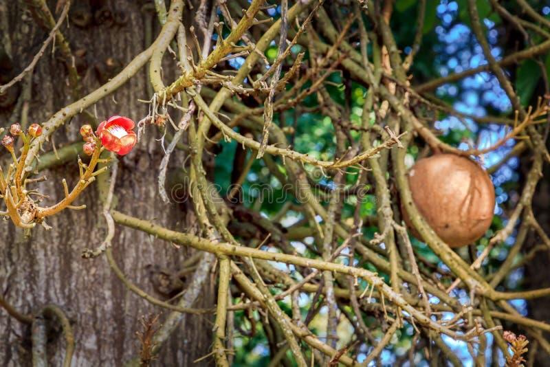 Bloem en fruit van tropische boomkanonskogel royalty-vrije stock fotografie