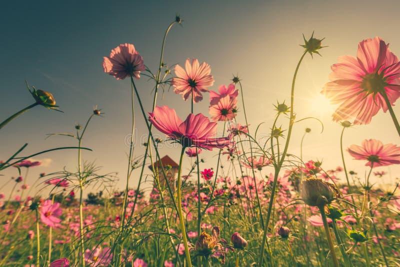 Bloem en het zonlicht van de gebieds de roze kosmos met gestemde wijnoogst royalty-vrije stock foto