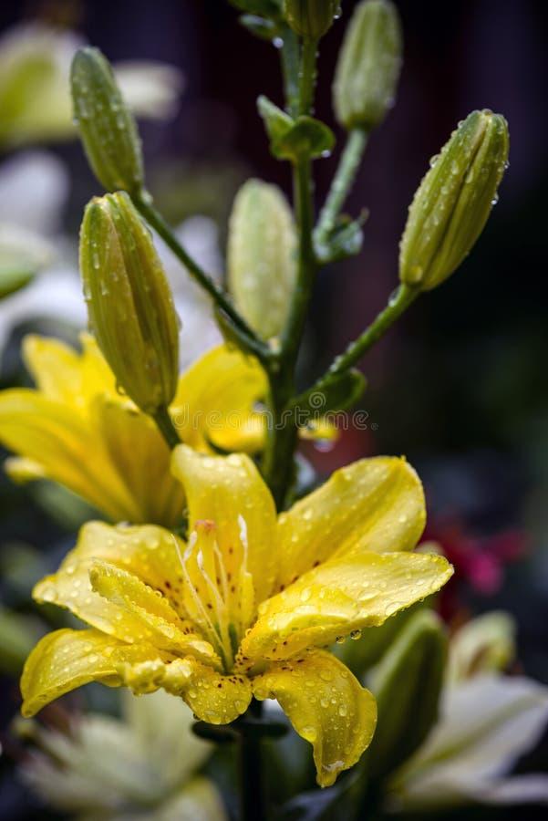 Bloem en knop van gele dag-Lelie in dalingen na de regen stock afbeeldingen