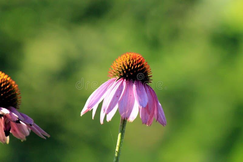 Bloem, Flora, Nectar, Coneflower stock foto
