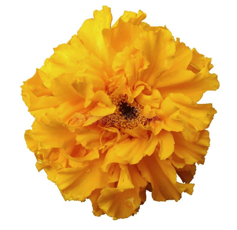 Bloem, geel, met dauw, wit geïsoleerde achtergrond met het knippen van weg Geen schaduwen royalty-vrije stock foto's