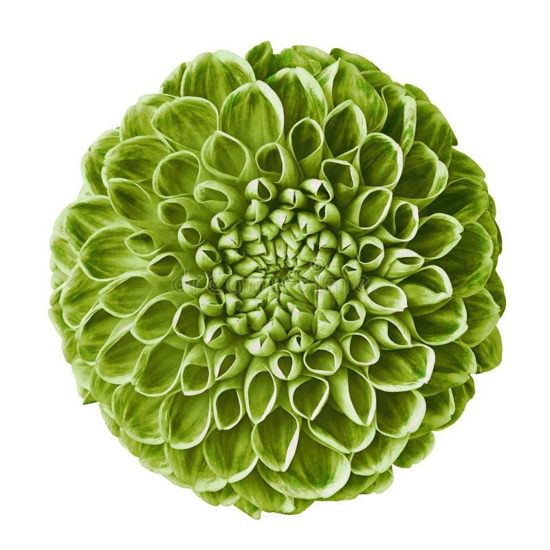 Bloem groene die dahlia op witte achtergrond wordt geïsoleerd Close-up stock afbeelding
