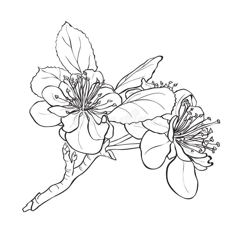 Bloem - kersenbloesems het trekken royalty-vrije illustratie