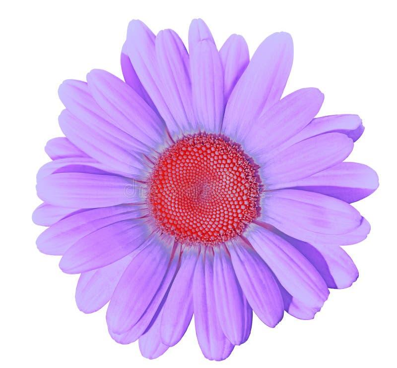 Bloem lilac rood die madeliefje op witte achtergrond wordt geïsoleerd Close-up Element van ontwerp stock foto's