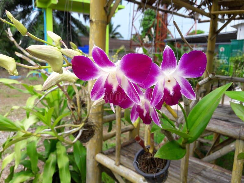 Bloem Lotus royalty-vrije stock foto's