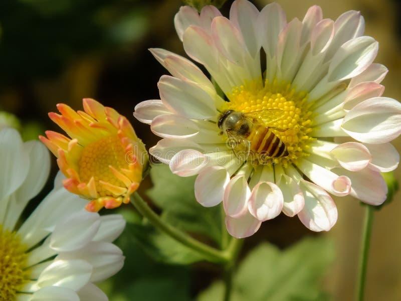 Bloem met Honey Bee stock afbeeldingen