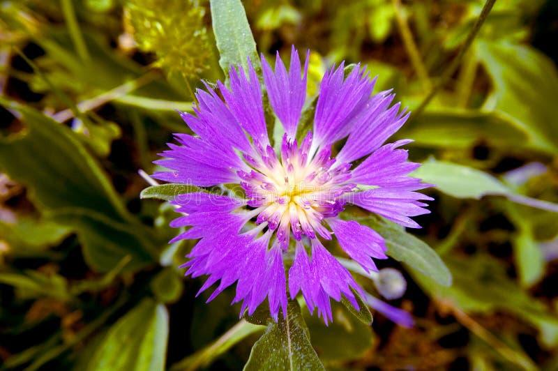 Bloem met purpere bloemblaadjes stock afbeeldingen