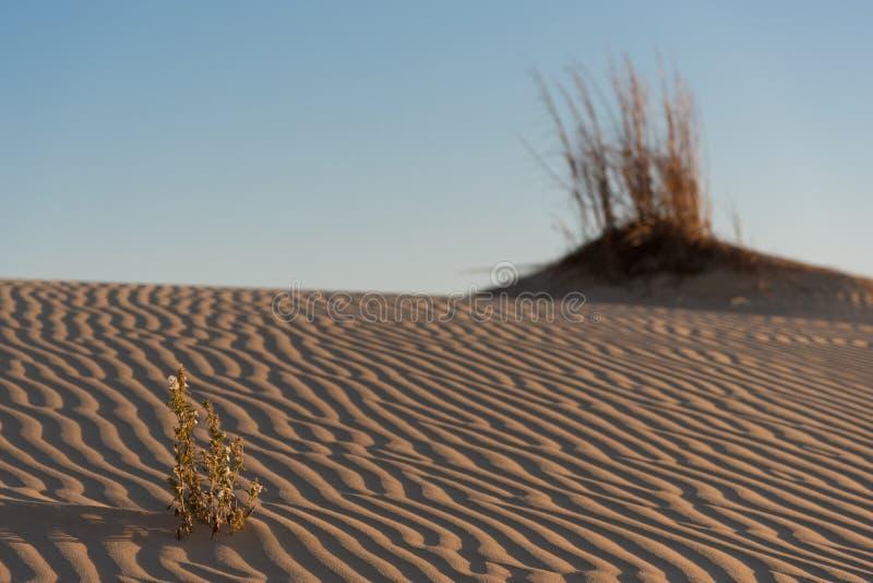 Bloem met rimpelingen in duinen in Monahans Sandhills stock foto