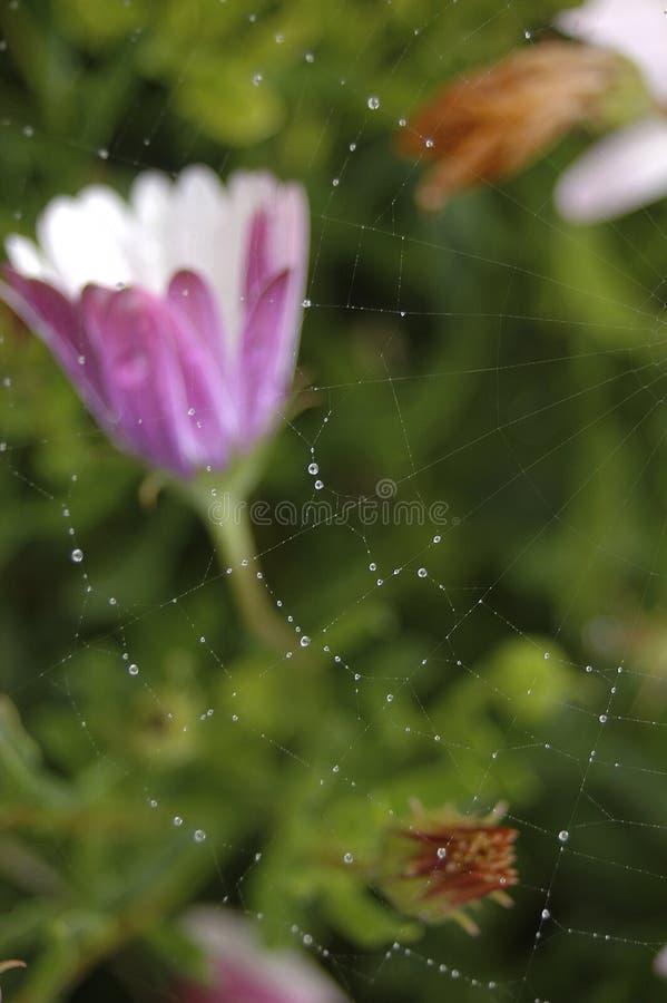 Bloem met spinneweb en dauw royalty-vrije stock afbeelding