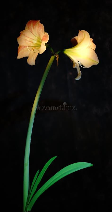 Bloem onder verlichting stock fotografie