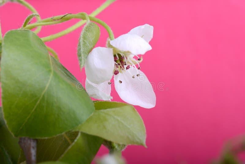 Bloem op tot bloei komende appelboom dicht omhoog in de lente royalty-vrije stock foto