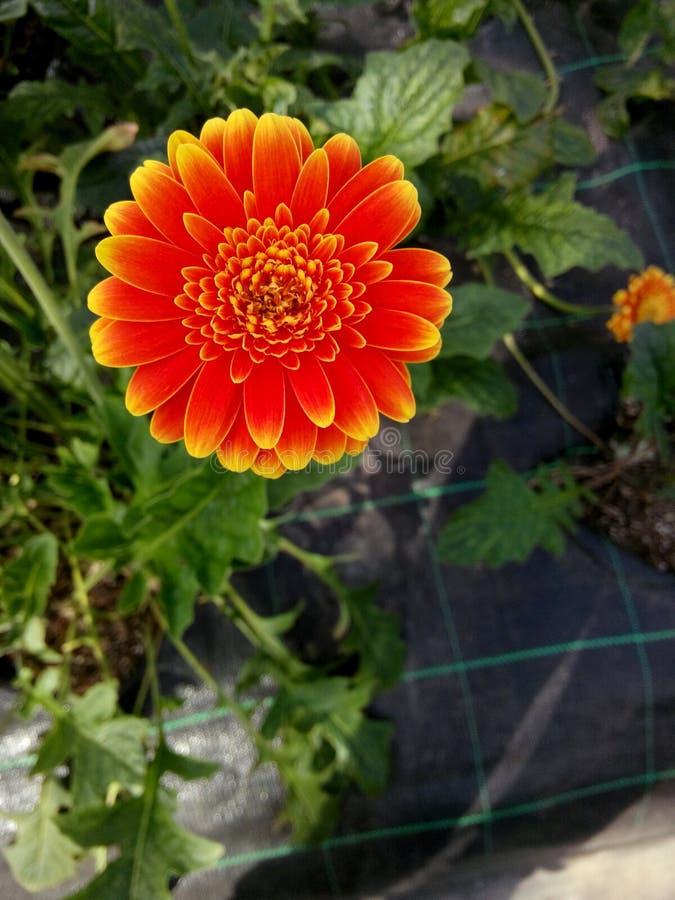 Bloem oranje zeer mooi stock afbeeldingen
