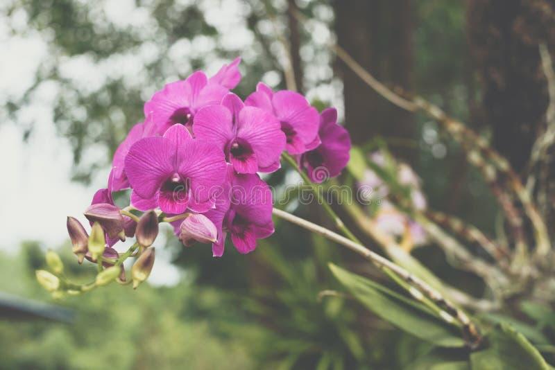 Bloem (Orchidaceae, Orchideebloem) purper roze stock afbeeldingen