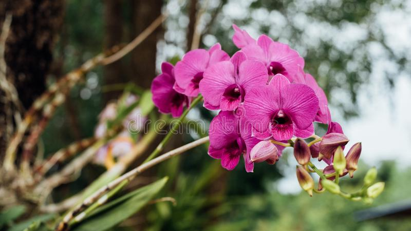 Bloem (Orchidaceae, Orchideebloem) purper roze royalty-vrije stock foto