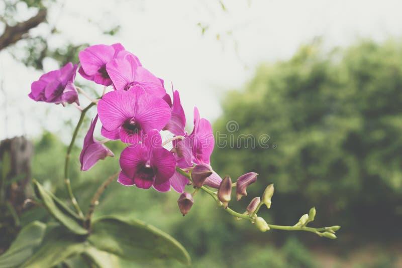 Bloem (Orchidaceae, Orchideebloem) purper roze royalty-vrije stock foto's