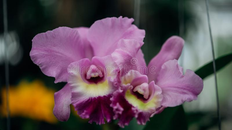 Bloem (Orchidaceae, Orchideebloem) purper roze stock foto