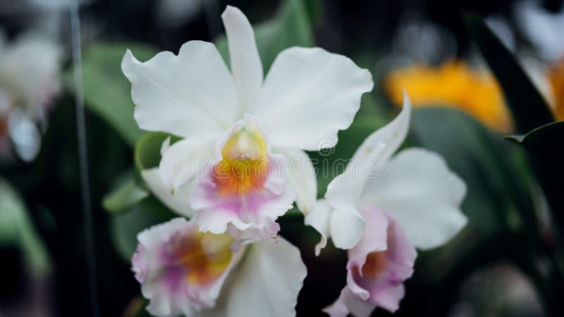 Bloem (Orchidaceae, Orchideebloem) witte purple stock foto