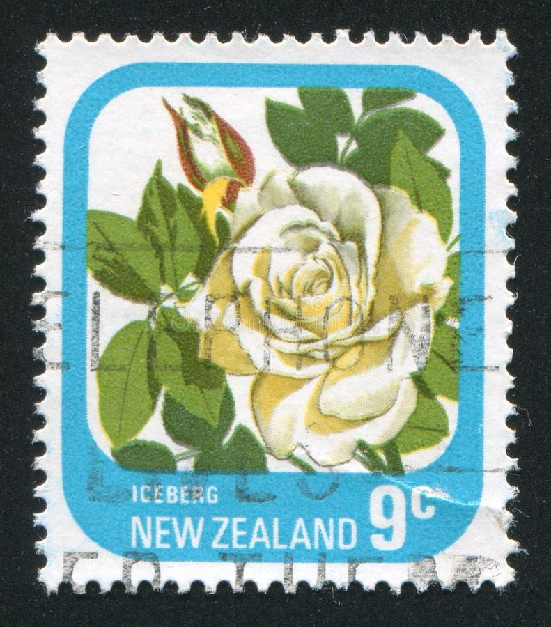 Bloem Rose Iceberg stock afbeelding